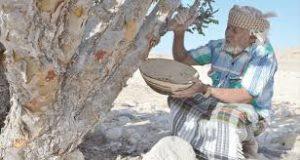 استخراج اللبان من الشجر في ظفار