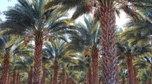 يعد العراق من اكثر بقاع العالم صلاحا لزراعة النخل