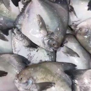 سمك الزبيدي