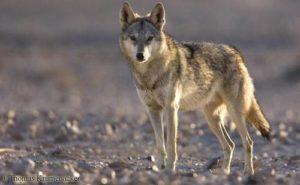 عمشة والذئب