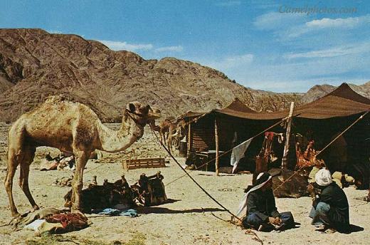 الجمال والخيام واهل البادية في صحاري جزيرة العرب